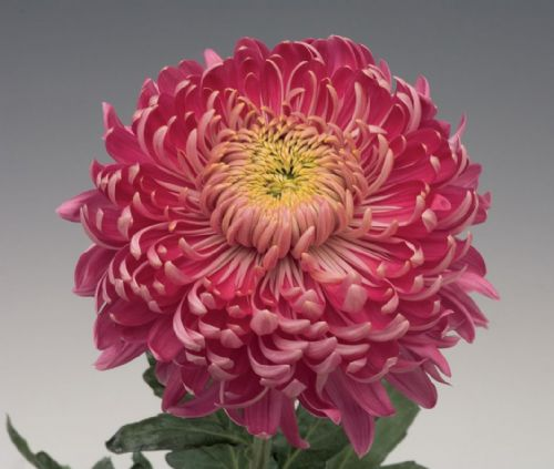Chrysanthemum Holiday Purple